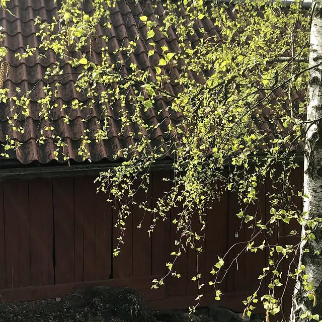 New Birch Foliage