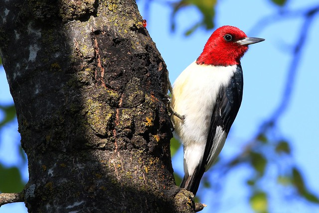 red-headed woodpecker at Lake Meyer Park IA 653A6497