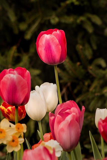 Tulip Standing Tall 3-0 F LR 4-16-21 J254