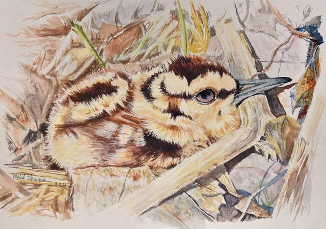 American Woodcock Chick, Scolopax minor