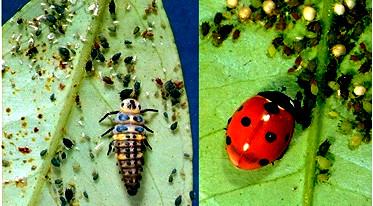 Larva ed adulto di Coleottero Coccinellide che predano afidi