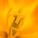 Orange & Yellow Tulip (II), 3.28.17