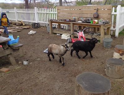two bigger lambs