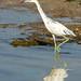 Sanibel Trip - May 2021 - Juvenile (bordering on Immature) Little Blue Heron