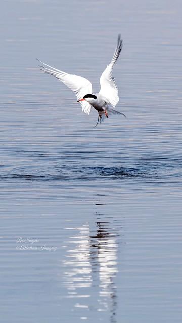 Beautiful Common Tern