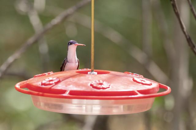 Violet-crowned Hummingbird,