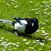 Hunting among the daisies: magpie, West Park