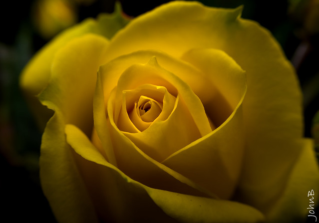 A yellow rose represents a new beginning