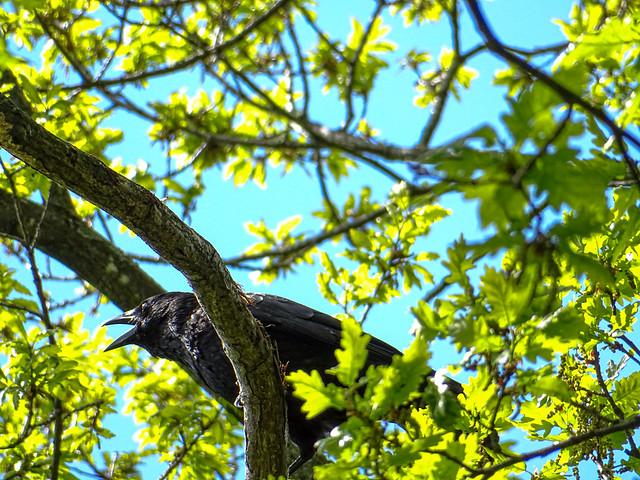 Krähe oder Raabe / Crow or raven