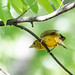 female_summer_tanager