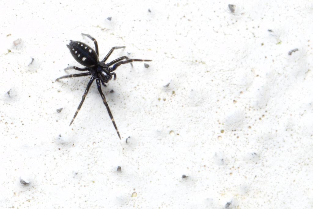 Titanoecidae, Nurscia cf albomaculata