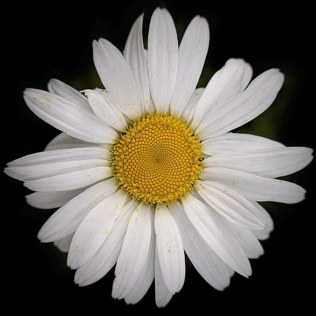 Flower 0315 Dear Daisy