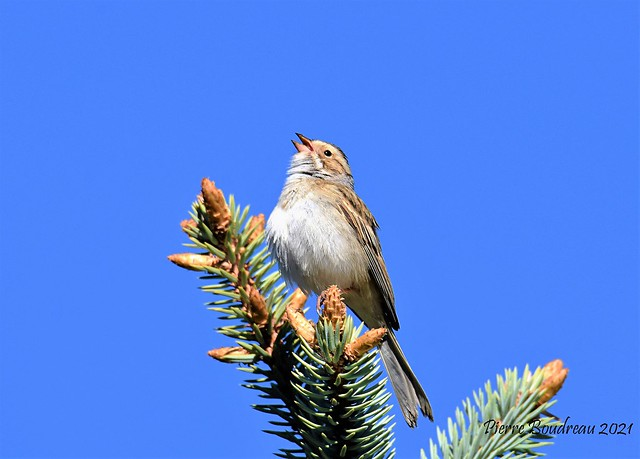 Bruant des plaines - Clay-colored sparrow St-Hyacinthe Mai - May 2021.