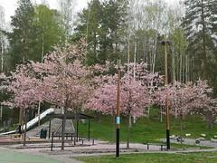 Körsbärsträd vid Kottvägens lekplats, Åkersberga, Österåker