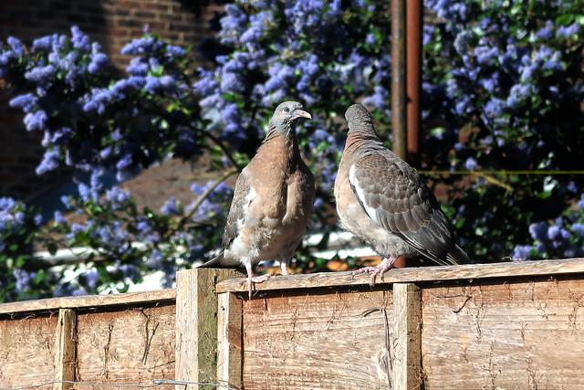 Two Little Dicky Birds...