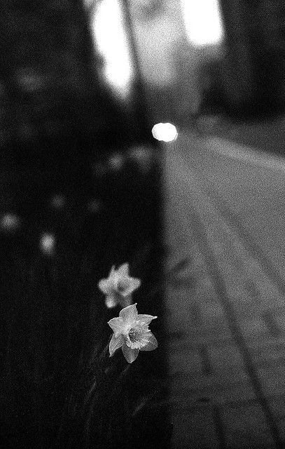 Daffodil Yin and yang