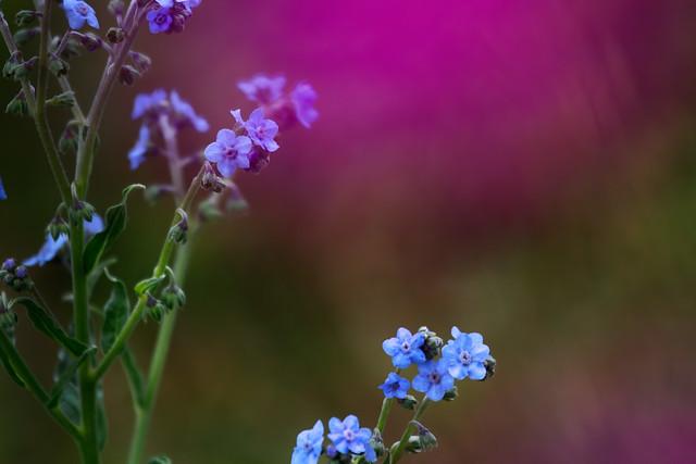 BLUE FLOWERS.....
