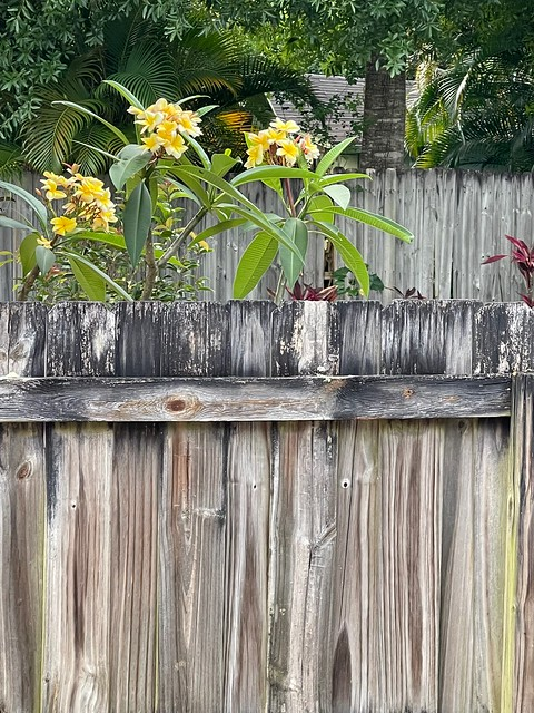 Neighbor's fences with Frangipani