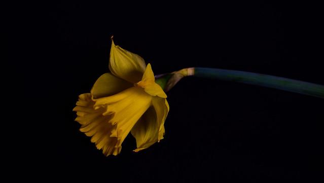 Daffodil Study on Black