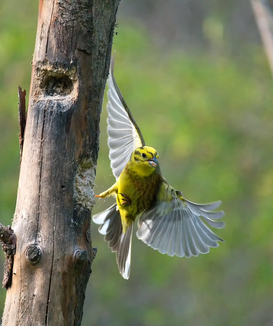 Yellowhammer in flight