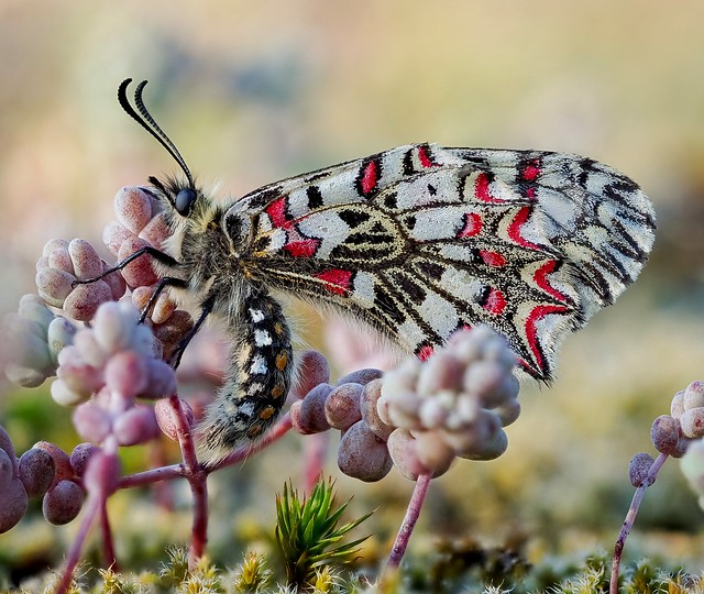 Macro insect      Mariposa arlequín (Zerynthia rumina)
