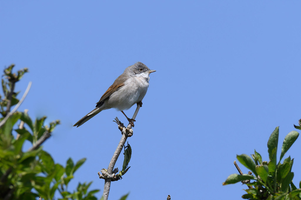 Vogels [verzamel]
