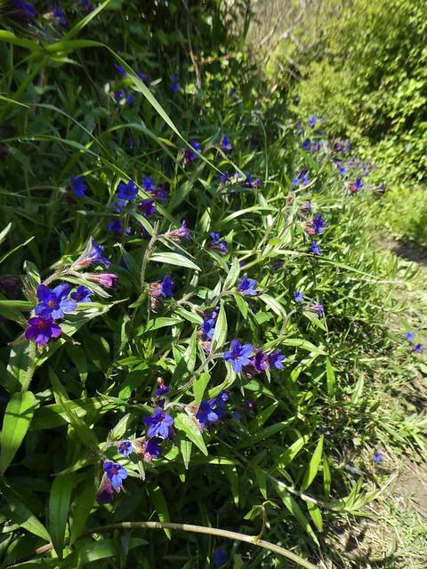Aegonychon purpurocaeruleum (L.) Holub = Lithospermum purpurocaeruleum L. -  Purple Gromwell