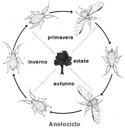 Anolociclo
