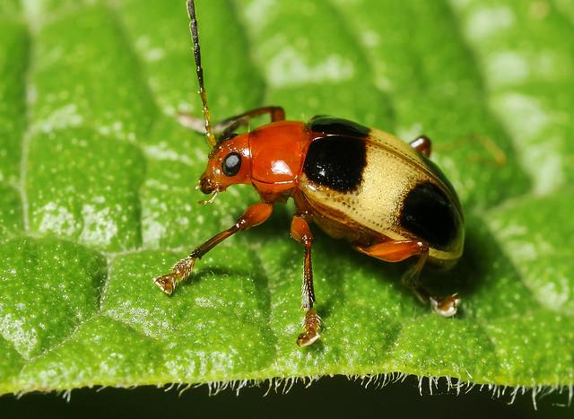 Leaf Beetle (Chrysomelidae) 111p-20329