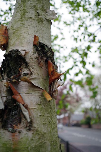 peeling silver birch