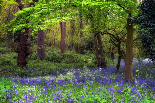 landscapes woods parksandgardens bluebells bluebellwoods flowers trees foliage springcolours green