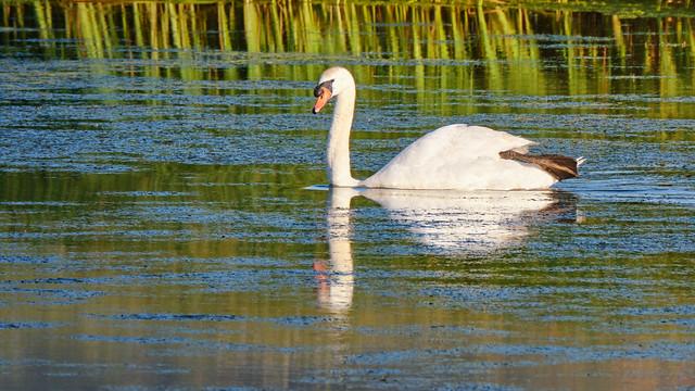 Mute Swan on pond