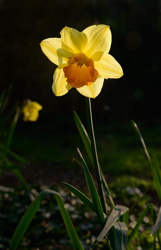 DSC_5734_Daffodils_54-Edit.jpg