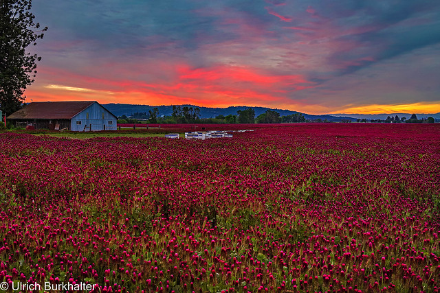 Sunrise at the clover field.