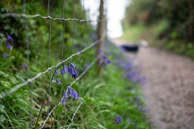 Bluebells [Explored]