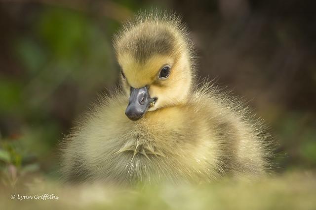 Gosling 503_1367.jpg