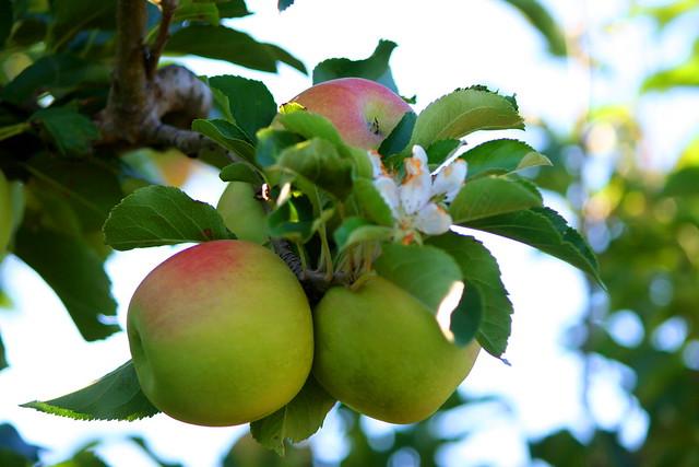Pommes de Melbourne (Explore 15-05-21)