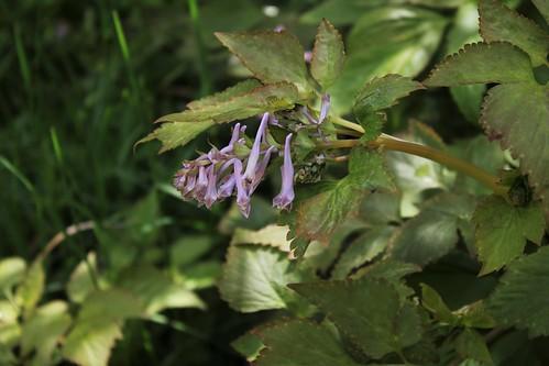 Corydalis quantmeyeriana  51178705988_56b58419fe