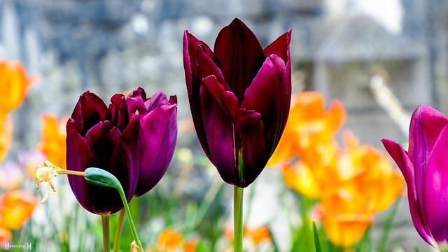 9737 - Tulipes