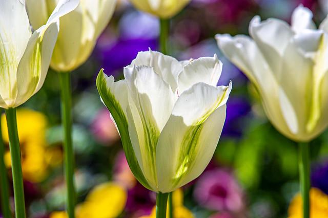 Splendor of tulips