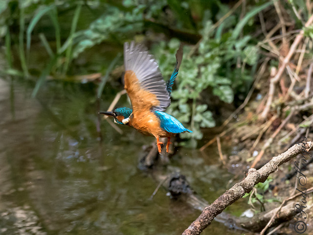 Common kingfisher - Martin-pêcheur d'Europe - Alcedo atthis - Blauet - Martin pescador