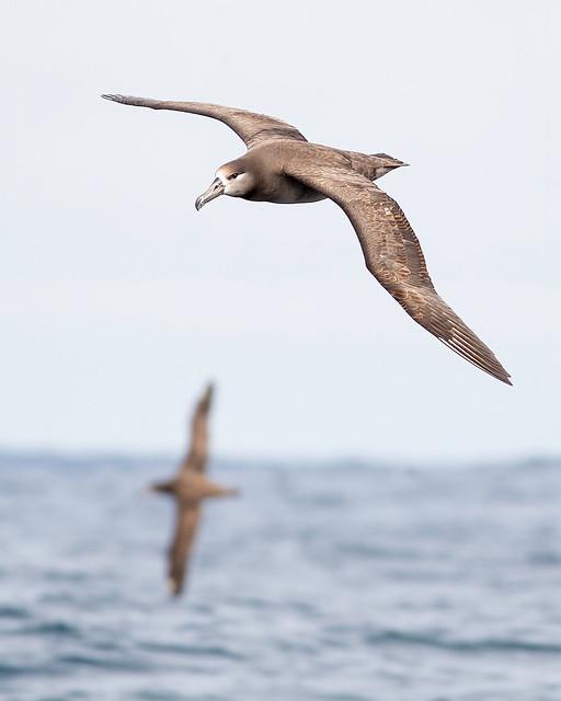 Trailing Black-footed Albatrosses-es
