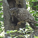 Strix uralensis - Ural Owl