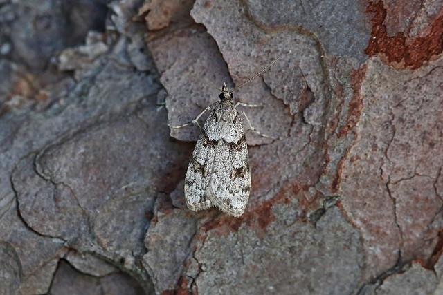 63.065 Scoparia ancipitella, Loch Rannoch, Perthshire