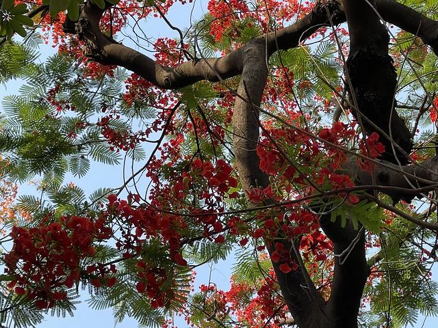 City Season - Gulmohar Blossoming, Around Town