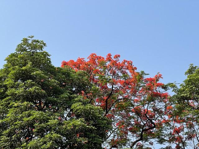 City Season - Gulmohar Blossoming, Around Town382081