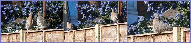 Pigeon Fun