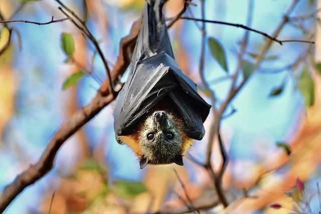 Flying fox - parramatta park NSW Australia