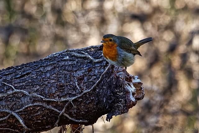 Erithacus rubecula - European Robin - Rougegorge familier
