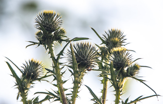 Morning Spiny Thistles